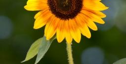 Latem w ośrodku kwitną słoneczniki